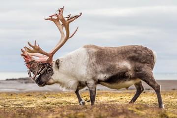 Old, big Arctic reindeer preparing to shed his antlers.