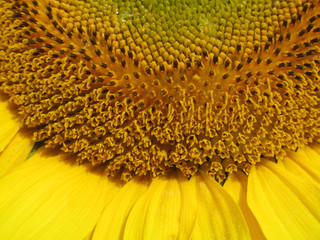 Close-up of blooming sunflower