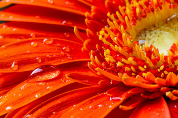 red gerbera flower with water droplets