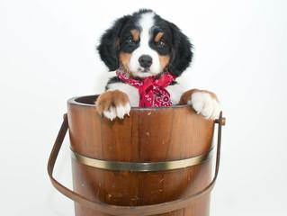Burmese Mountain Dog Puppy