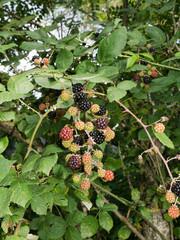 Wild blackberries ripen on bramble bush. Free food!