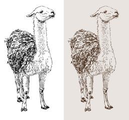 artwork lama, digital sketch of animal