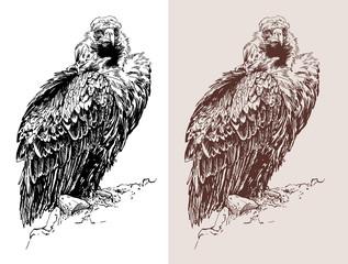 artwork of griffon vulture (Aegypius monachus)