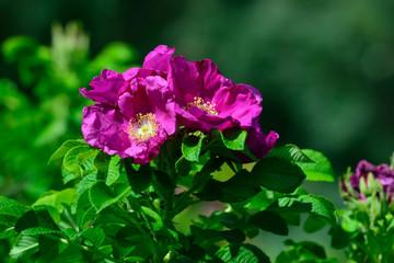 Blooming pink rosehip