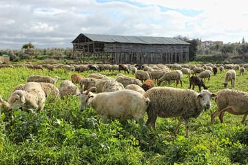 Corderos y cabras en libertad