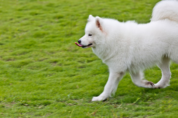 Samoyed dog running on the grass
