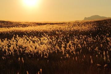 曽爾高原 夕日に輝くススキの大海原