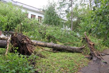 Вырванные с корнем тополя после сильного ветра