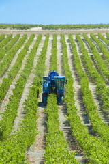 Mechanical harvest in the vineyard