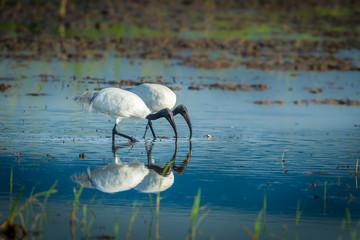 Couple of Black-headed ibis(Threskiornis melanocephalus)