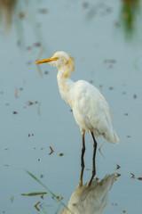Cattle egret(Bubulcus ibis) in nature of Thailand