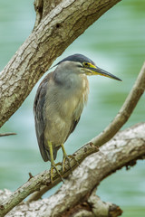 Little Heron (Butorides striata) looking for fish