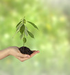 avocado sapling in hand as a gift of agriculture