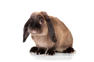 Siamese fold rabbit isolated on white