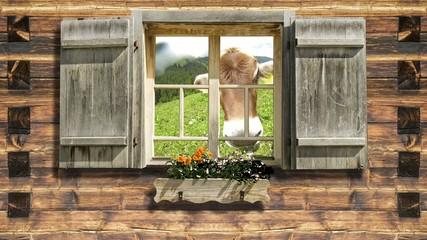 Snooping cow on mountain hut window