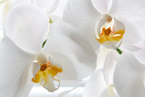 Detail of two orchid flowers.