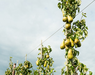 Ripening pears hanging on the trees.