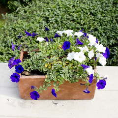 spring daisy flower in a flower pot
