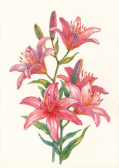 Акварельные цветы, розовые большие лилии.