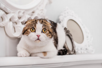 Scottish-fold cat