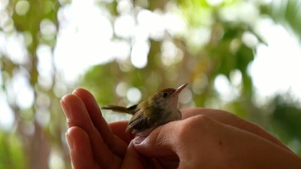 Common Tailorbird (Orthotomus atrogularis) Sitting in Man Hands