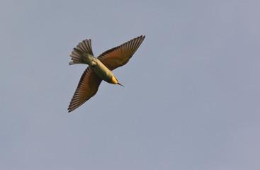 gruccione (Merops apiaster) in volo