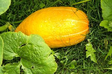 Oval pumpkin