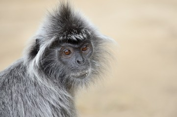 Portrait of Silvery lutung