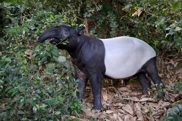 Asian Tapir eating
