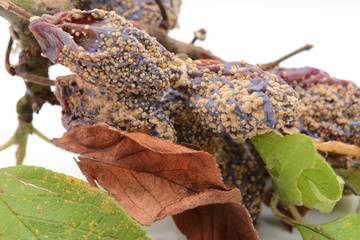 Mouldy, withered plum fruits and dead leaves