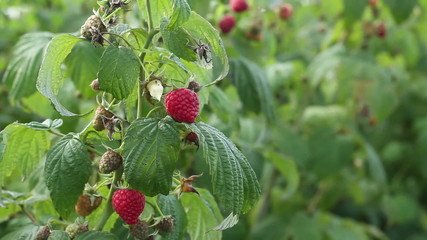 Ripe raspberry in the fruit garden, close up