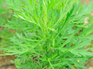 mugwort in growth