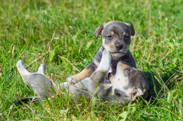 Two little puppies playing on the lawn