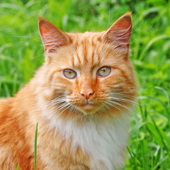 very beautiful adult red color cats