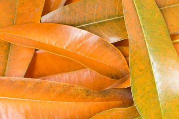 leaf Cerbera odollam