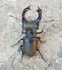 Male Stag beetle close-up