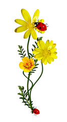 buttercups flowers isolated on white background