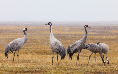 Common crane snowing, latin: grus grus