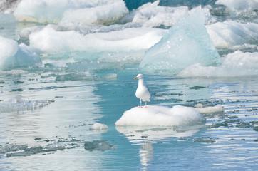 Чайка среди льдов