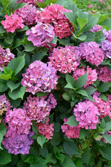 Pink flowers of a hydrangea (Hydrangea L. )