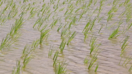 small rice sprouts sway in farmland