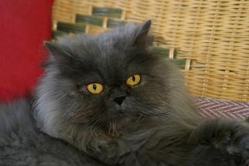 gatto persiano felino domestico