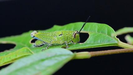 Grasshopper eating a leaf in rain forest. HD