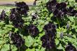 canvas print picture - papola negra, flor negra