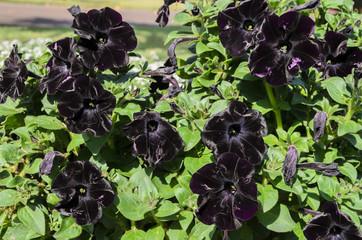 papola negra, flor negra