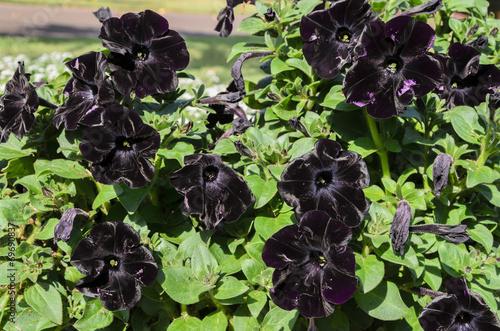 canvas print picture papola negra, flor negra