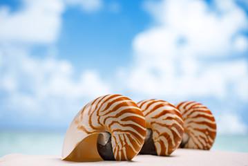 three nautilus shell on white Florida beach sand under the sun l