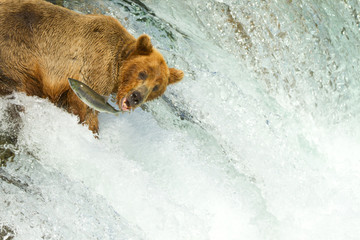 Grizzly beim Lachsfang