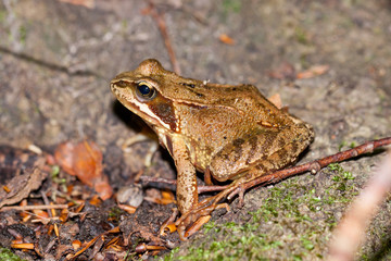 Side view of a Common frog, Rana temporaria