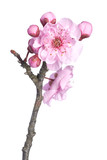 Beautiful pink cherry blossom isolated on a white background.